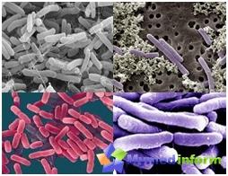 intestinal Bifidobacteria