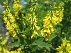 clover, herbs, use of sweet clover, sweet clover properties, herbs, herbal medicine