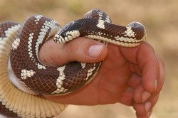 snake, first aid, snake bite, snake venom, a poisonous snake