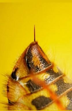 reakcje alergiczne, alergia, bite leczenie, osa, pszczoła, Sting rozpoznaje, ukąszenia owadów, Pszczoła