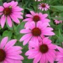 application-tincture-echinacea