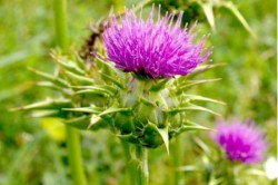 thistle-liver