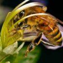 пчела-полен