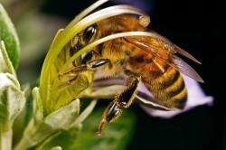 pyłek pszczeli,