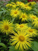 Elecampane and dill for the normalization of digestion