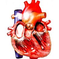 Como são o coração