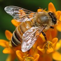 Behandlung von Myopathie mit Kräutern und Bienengift