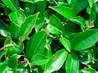 Naturlig grøn te er meget godt for helbredet