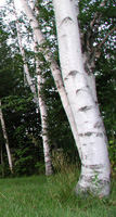 white birch true healer