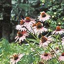 buena Echinacea