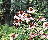 god Echinacea