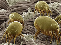 The dangerous allergic to dust mites?