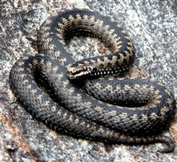 first-aid-snake-bite