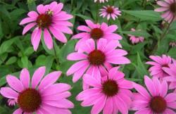 лечебни растения, билколечение, тинктура от ехинацея, ехинацея