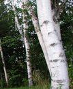 white birch true healer
