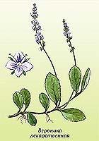 Gyógynövények a gomba ellen