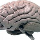 regulation of blood circulation in the brain and its disorders