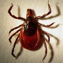 attention to the season ticks