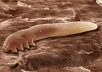 subcutaneous facial tick or demodicosis pets